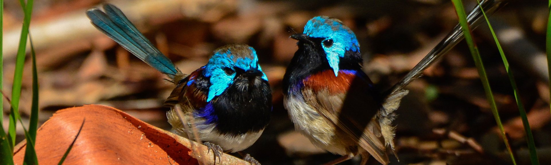 Variegated fairy wrens