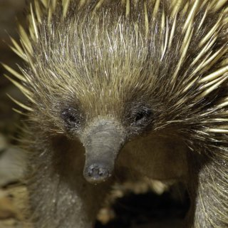 Echidna at Booderee National Park