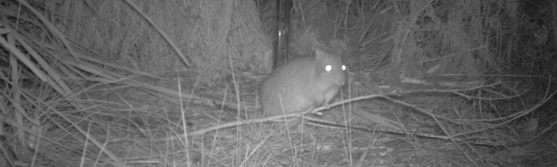 "Camera trap photo of ""Notchy"" the Long-nosed potoroo in Feb 2020"