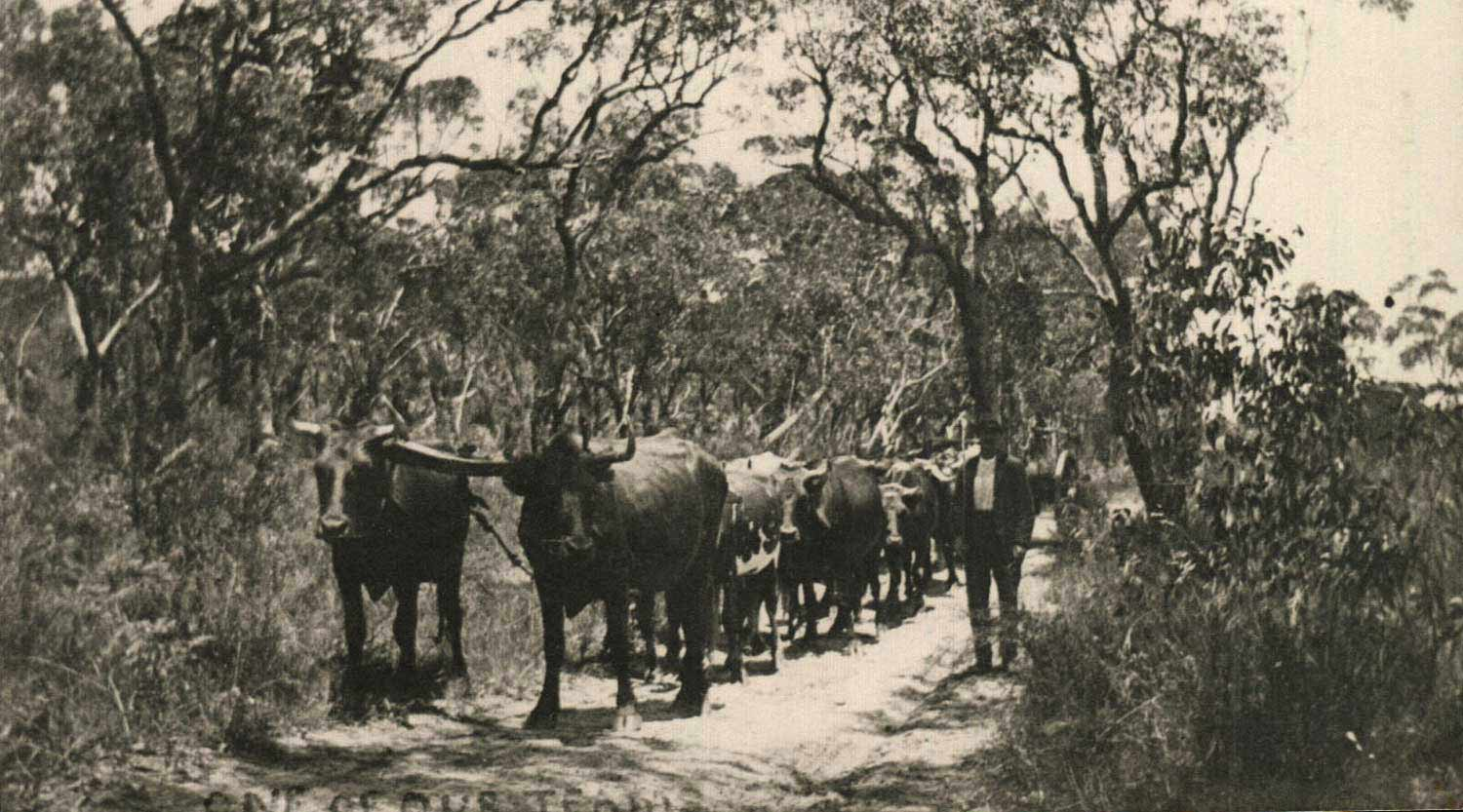 Droving Bullock in times past, Booderee National Park