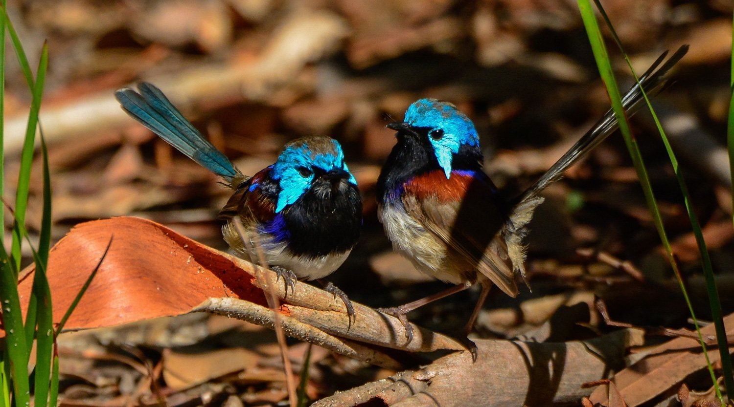 Fairy wrens at Booderee