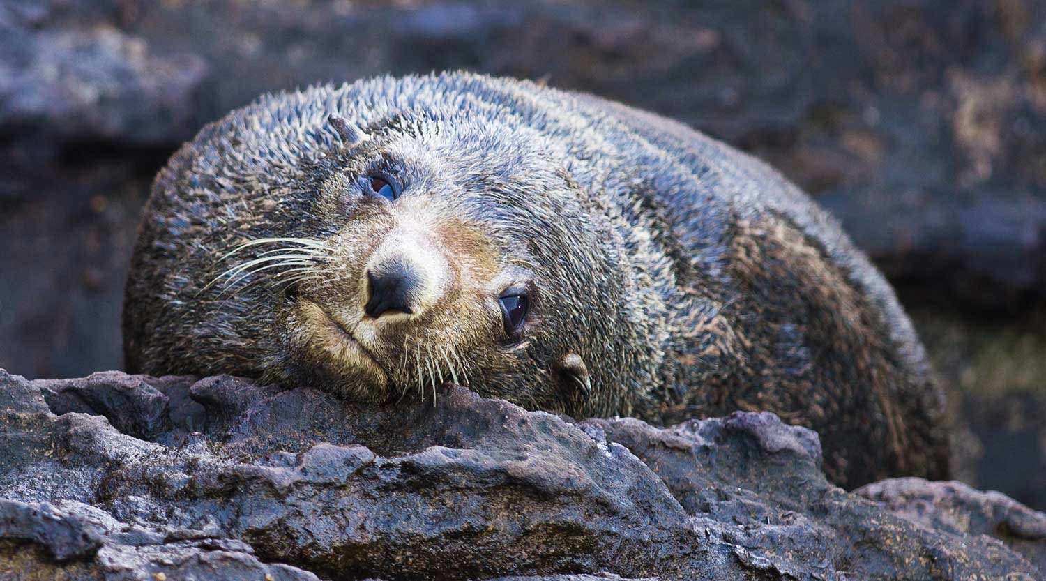 Fur Seal, Booderee National Park