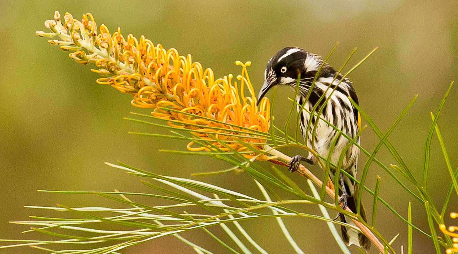 New Holland Honeyeater at Booderee National Park
