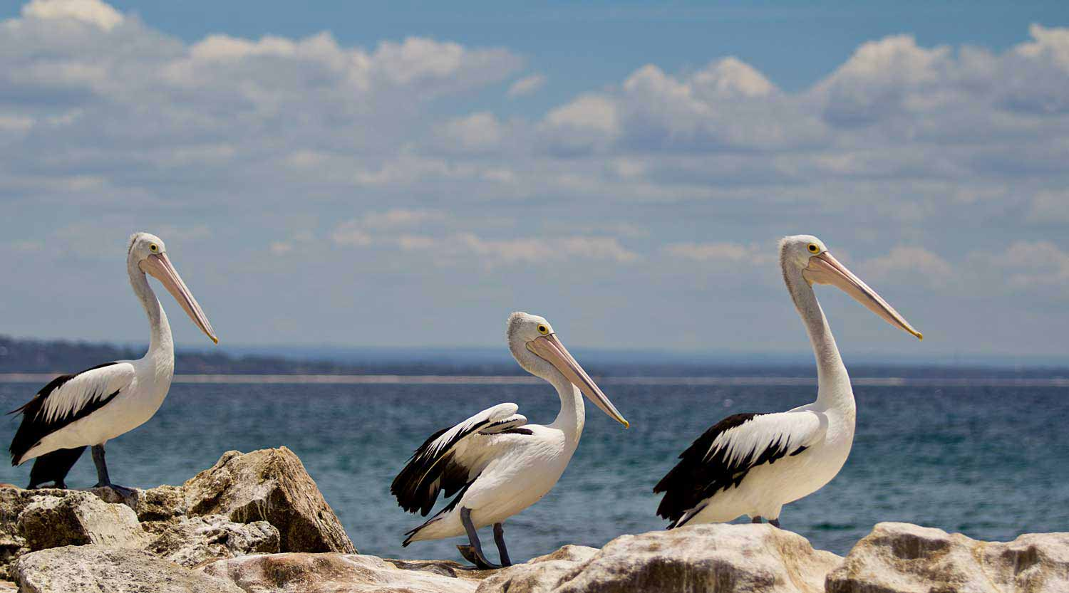 Pelicans at Booderee
