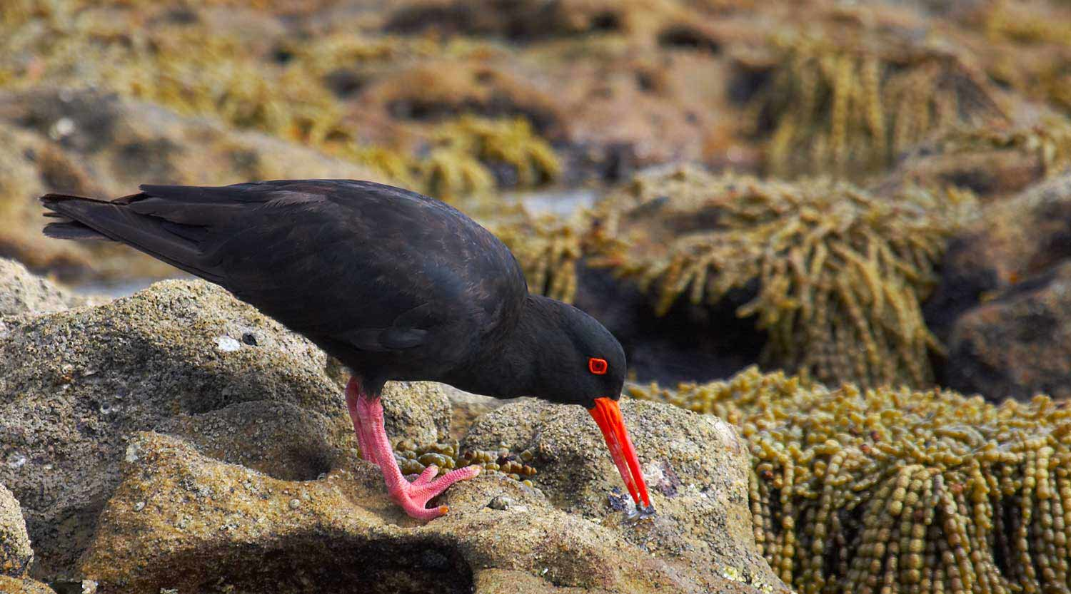 Sooty Oystercatcher, Booderee National Park