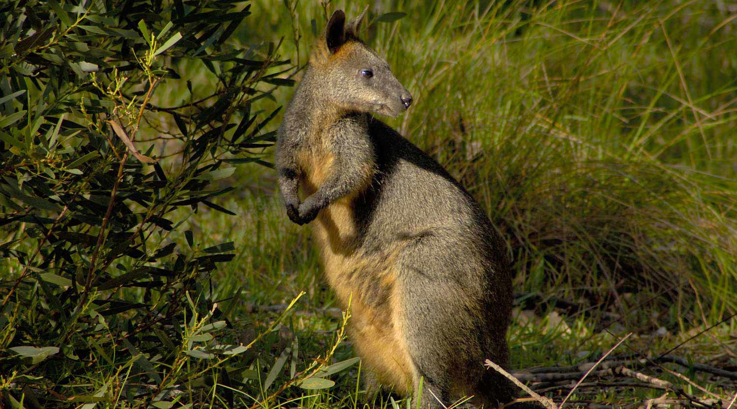 A timid swamp wallaby, Booderee National Park