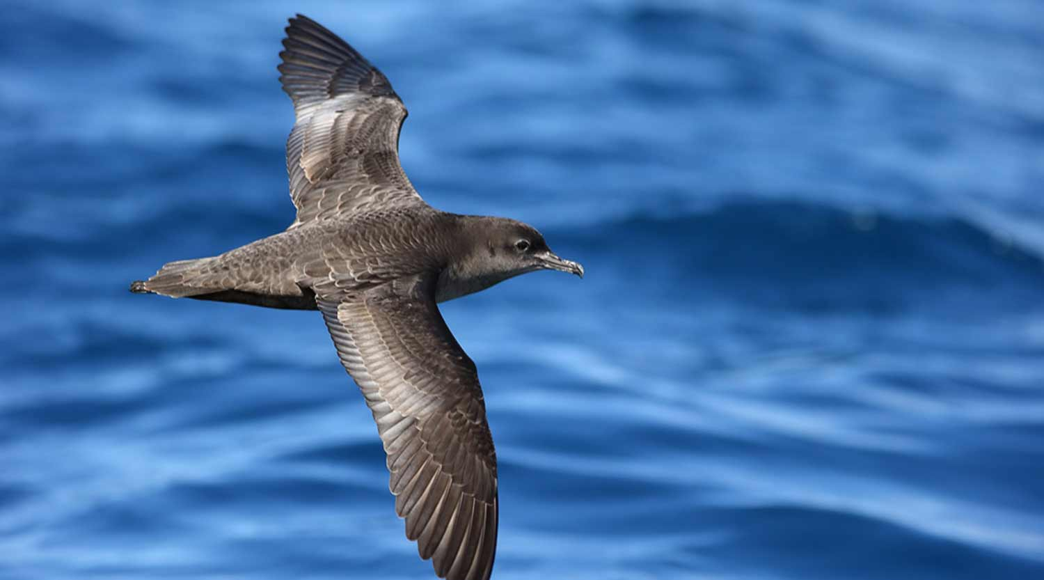 Short-tailed shearwater, Booderee National Park
