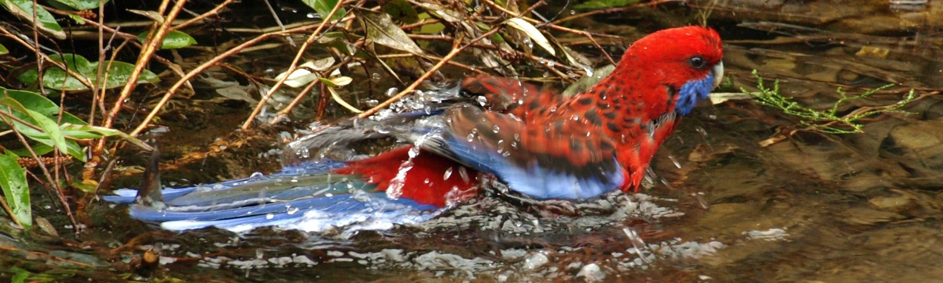 A rosella taking a bath in the Gardens