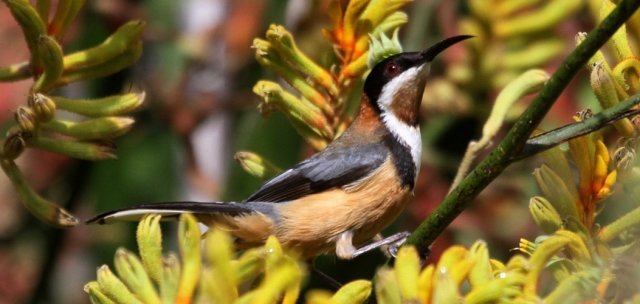 Eastern spinebill (Acanthorhynchus tenuirostris). Photo: Lindell Emerton