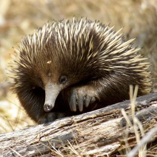 An echidna in the Gardens