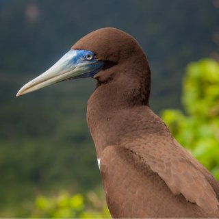 Brown booby. Photo: Wondrous World Images