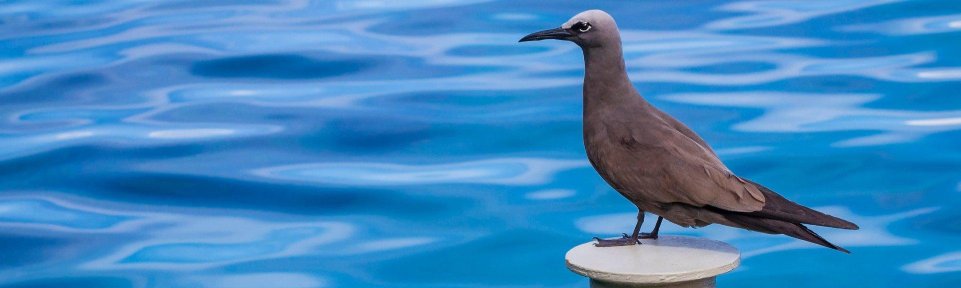 Where Is Christmas Island.Common Noddy Christmas Island National Park