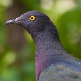 Imperial pigeon. Photo: Wondrous World Images