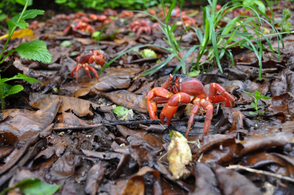 Red crab migration   Christmas Island National Park