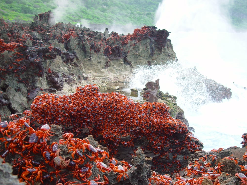 Red crabs on rocks at the Blowholes