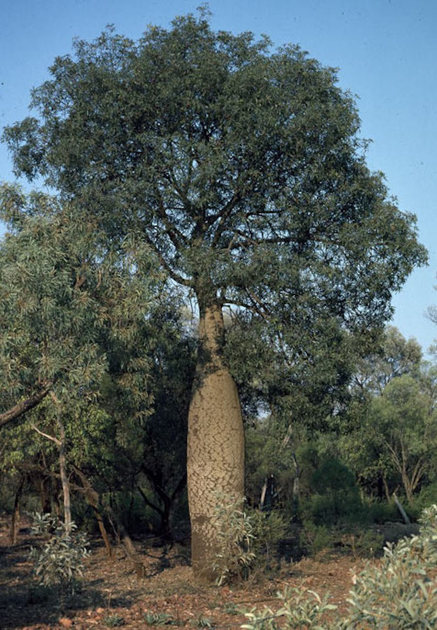 Brachychiton rupestris collects water in its trunk and was used to access water during dry times.
