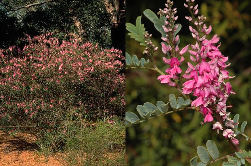 Indigofera australis can be seen on the Indigenous Plant Use Trail
