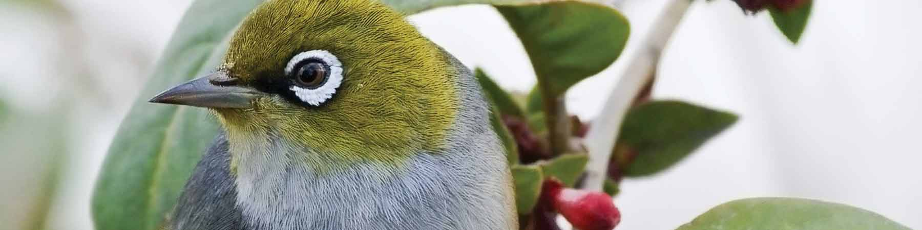 Silvereye birds are regular vistors to our National Parks
