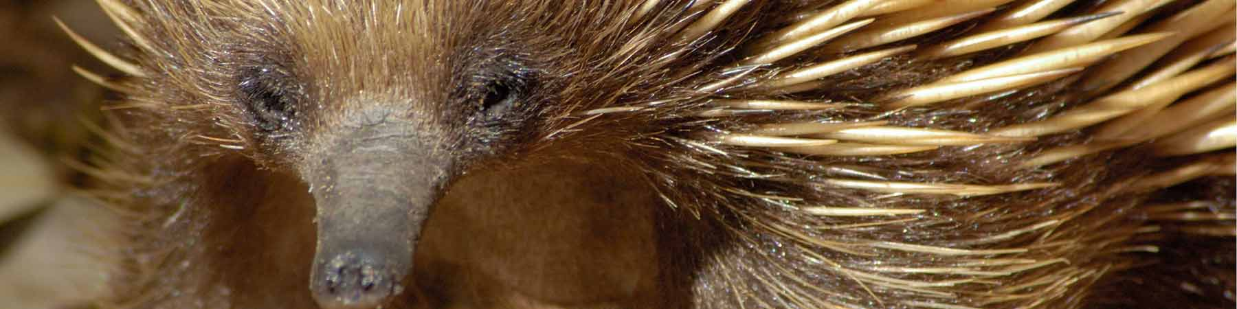 The echidna is found in parks throughout Australia