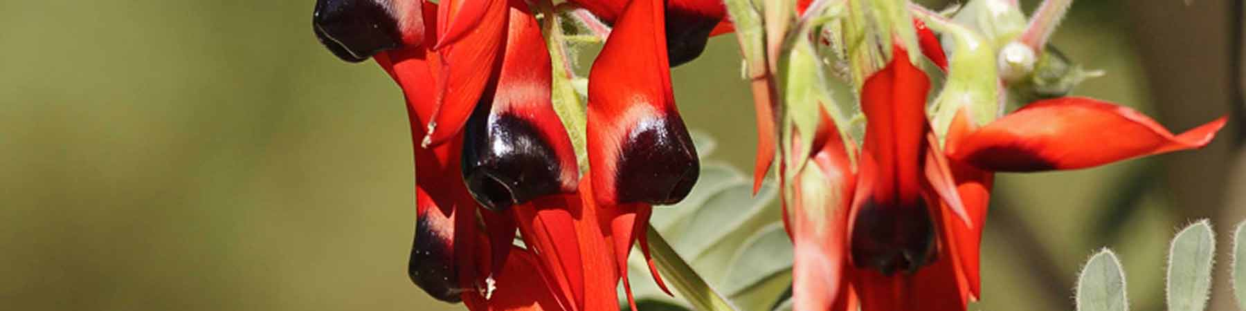 Sturts desert pea provides a slash of colour in arid regions