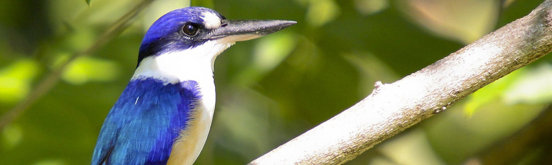 Forest kingfisher. Photo by Marj Kibby.