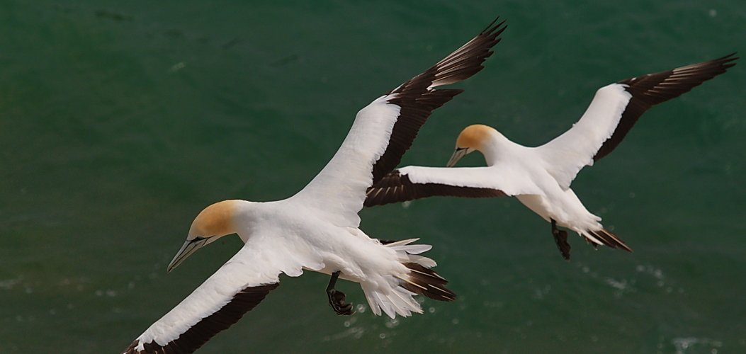 Australasian gannets in flight