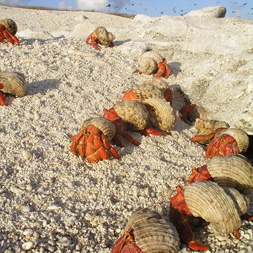 Hermit crabs. Lihou Reef, Coral Sea. Credit: Australian Institute of Marine Science, Long Term Monitoring Program.