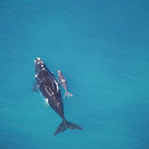 Southern right whale. Credit: John Bannister, Western Australian Museum.