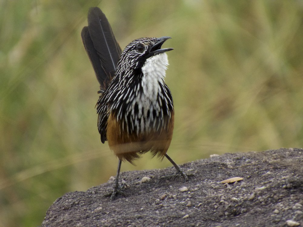 White-throated grasswren. Photo: Luke Paterson