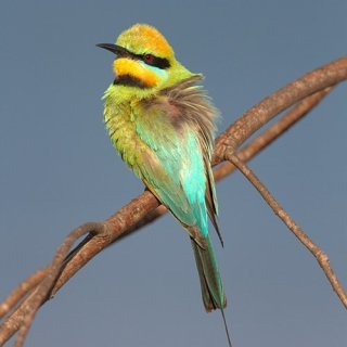 Rainbow bee-eater. Photo: Tom Rayner