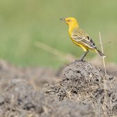 Yellow Chat. Photo: Laurie Ross