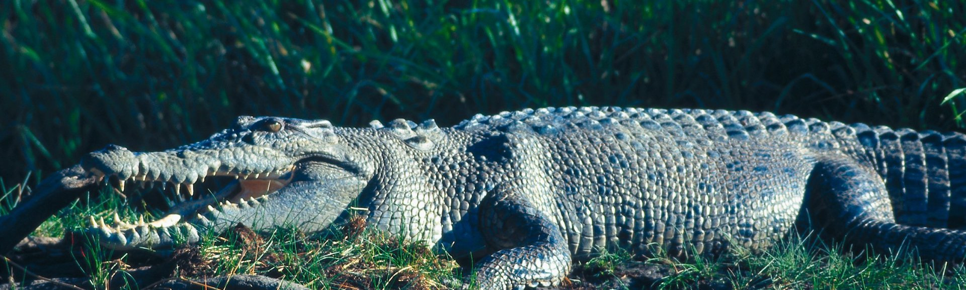 Saltwater crocodile on grass bank