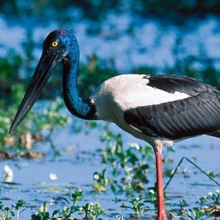 Black-necked stork. Photo: Steph Miechel, Tourism NT