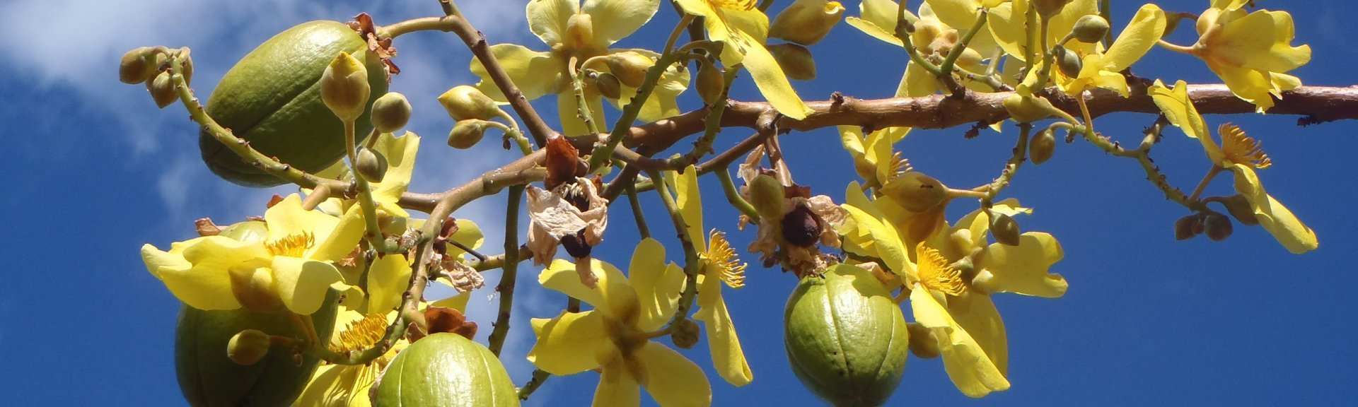 Kapok bush | Kakadu National Park