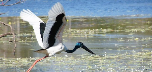 Jabiru on Sandy Billabong