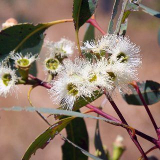 Stringybark flowers. Photo: GW Wilson