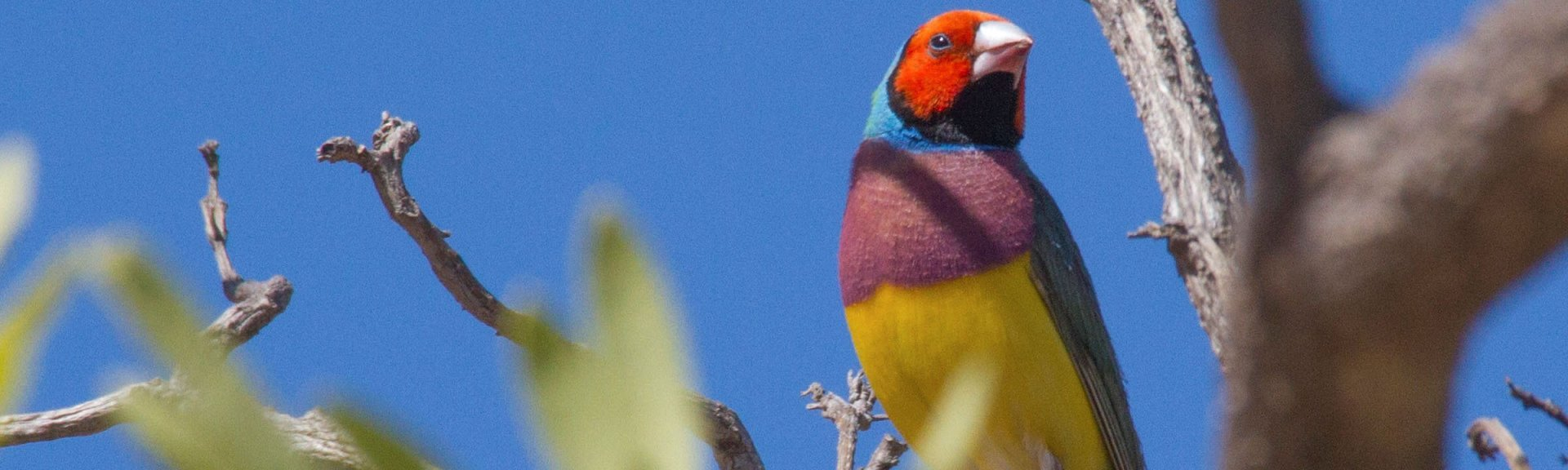 Gouldian finch. Photo: NT Immersions