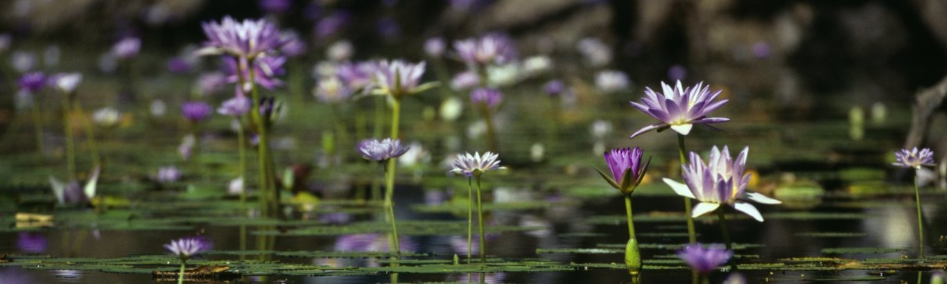 Water lilies. Photo: Tourism Australia