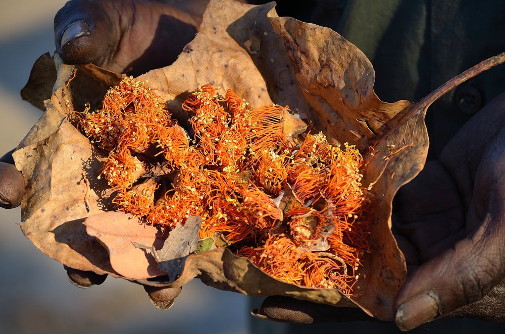 Darwin woollybutt flowers collected in a dry leaf. Photo by James Hunt