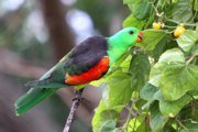 Red-winged parrot in a tree.