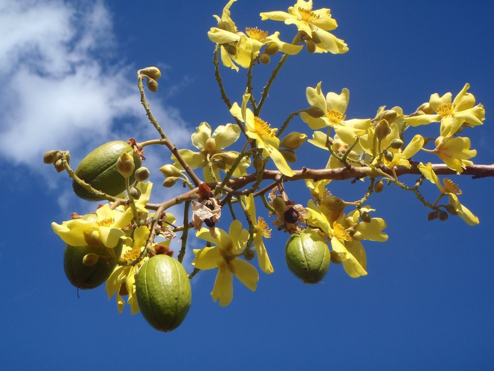 Green pandanus fruit and yellow flowers on a branch with blue sky background. Photo by Parks Australia