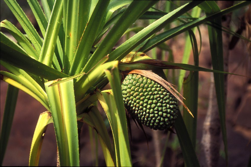 Pandanus fruit attached to tree with spiky leaves. Photo by Parks Australia
