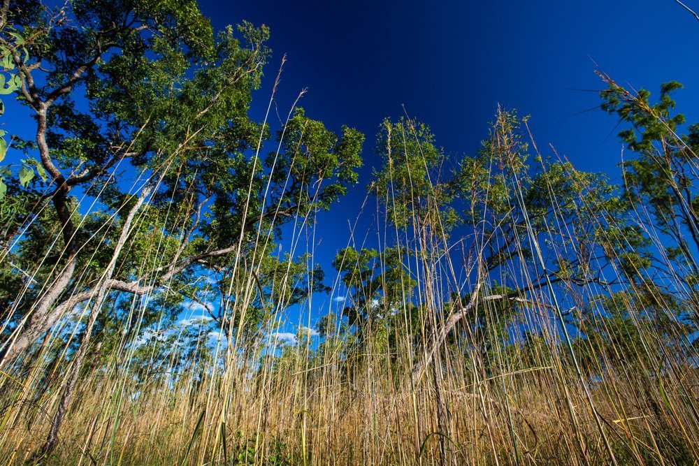 A field of speargrass in front of trees and a blue sky. Photo by Parks Australia