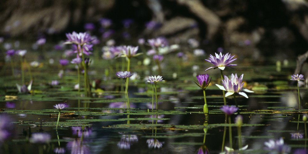 A groups of purple water lilies growing in the water