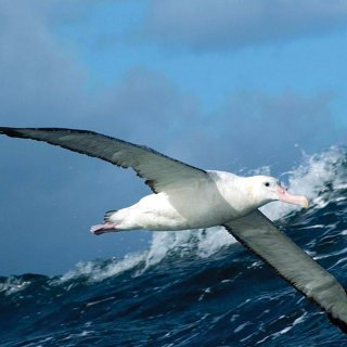 Albatros. Photo by Mike Double