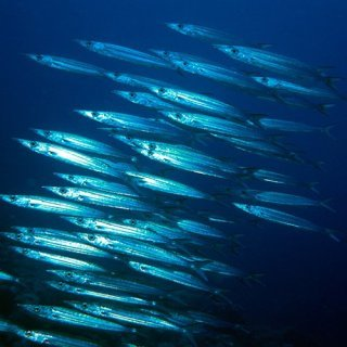A school of barracuda. Photo by Robert Thorn.