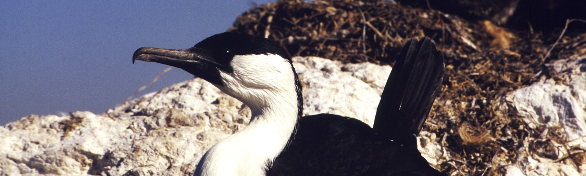 Black-faced cormorant, nesting. Photo from Brian Furby Collection