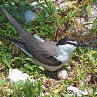 Bridled tern at nest with egg. Photo by Graeme Chapman