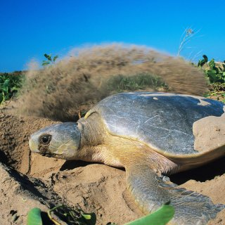 Flatback turtle digging a nest. Copyright Great Barrer Reef Marine Park Authority)