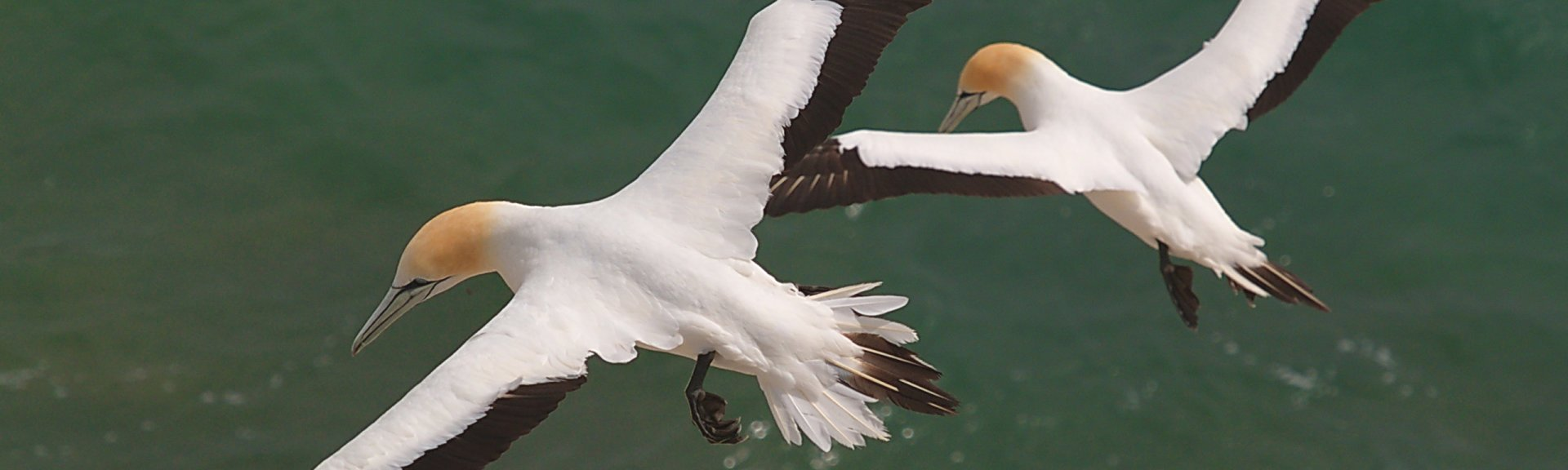 Australasian gannets in flight over the water. Photo by Alan Danks